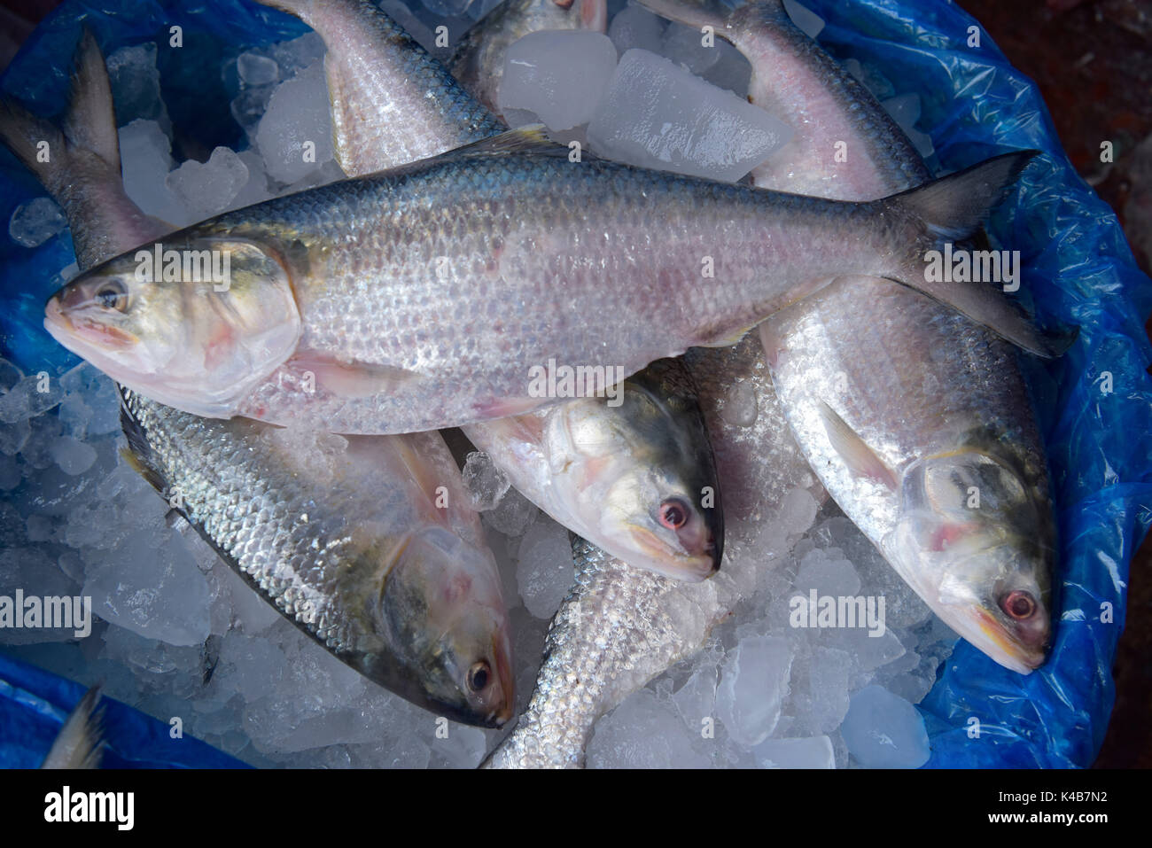 DHAKA, BANGLADESH – SEPTEMBER 05, 2017: Bangladeshi traders put Ilisha fish on display to sell at a market in Dhaka, Bangladesh, September 05, 2017. The fish contributes about 12% of the total fish production and about 1% of GDP in Bangladesh. About 450,000 people are directly involved with the catching for livelihood; around four to five million people are indirectly involved with the trade. It is also the national fish of Bangladesh. - Stock Image