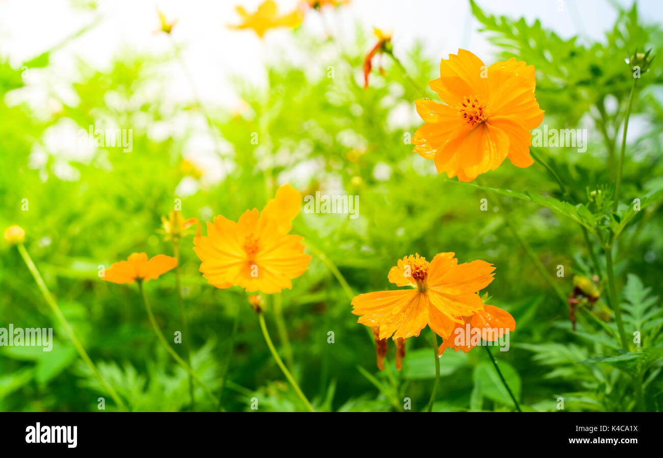 Yellow cosmos flowers with sunlight in the morning cosmos is also yellow cosmos flowers with sunlight in the morning cosmos is also known as cosmos sulphureus mightylinksfo