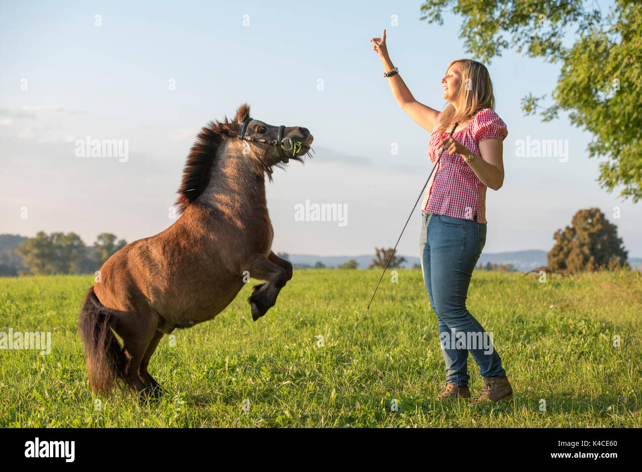 On A Meadow In The Evening Light A Brown Shetlandpony Moves In The Levade Under The Guidance Of His Female Trainer - Stock Image
