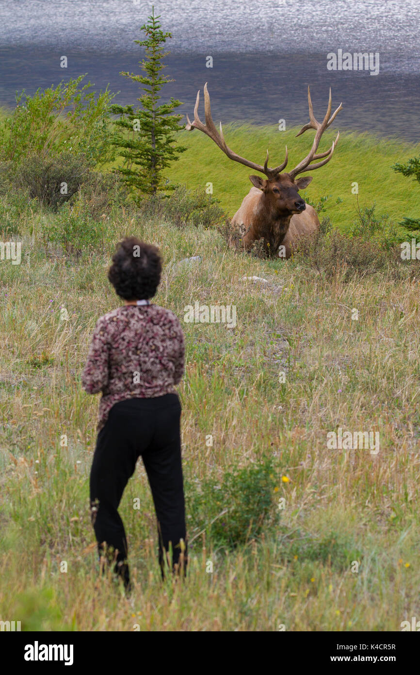 Tourist getting too close to elk / wapiti (Cervus canadensis) bull in the holiday season in summer, Jasper National Park, Alberta, Canada - Stock Image