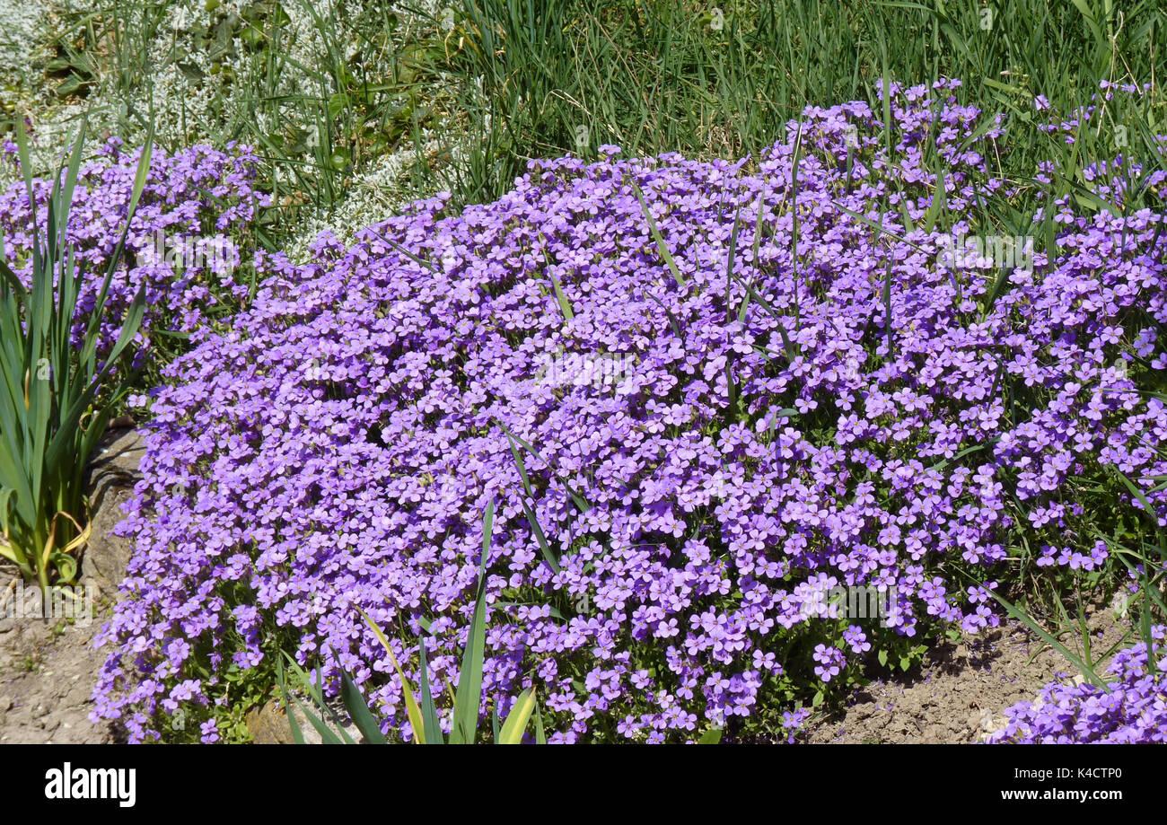 Blooming Aubrieta - Stock Image