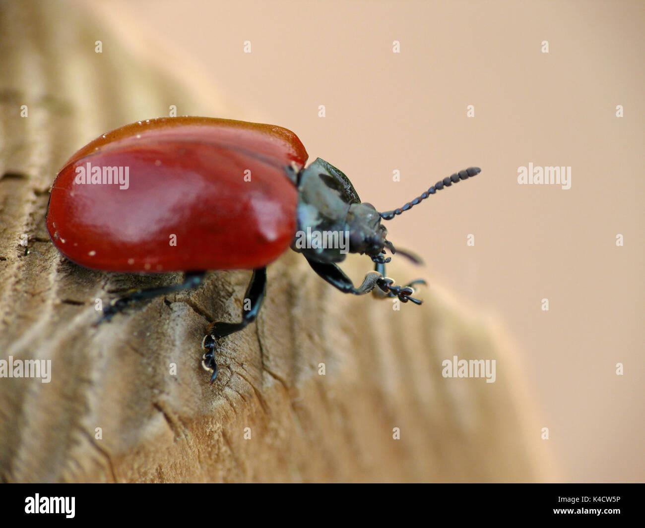 Red Poplar Beetle, Melasoma Populi, Found On Poplars And Pastures - Stock Image