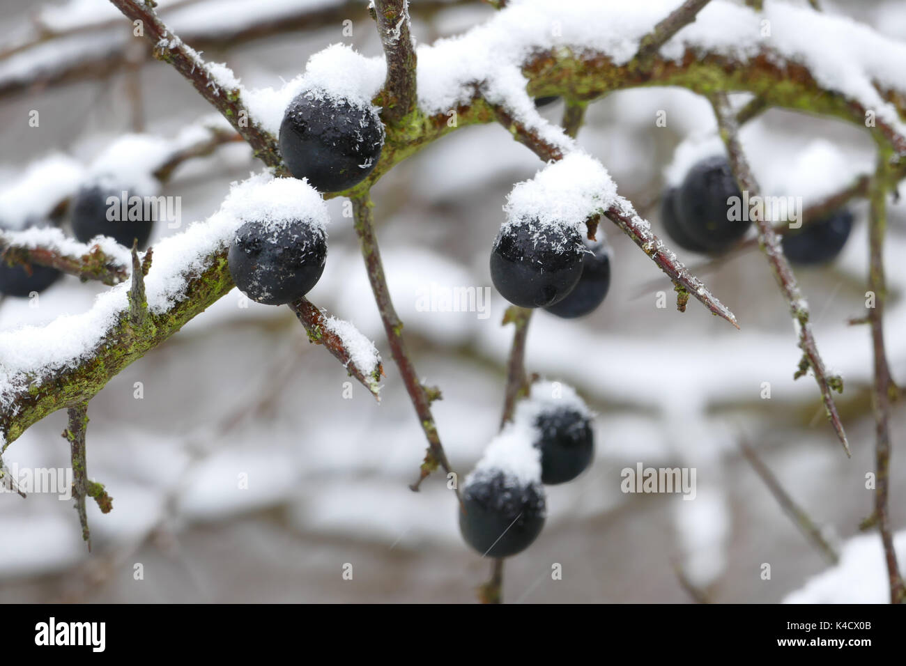 Ripe Sloes With Coldness And Snow - Stock Image