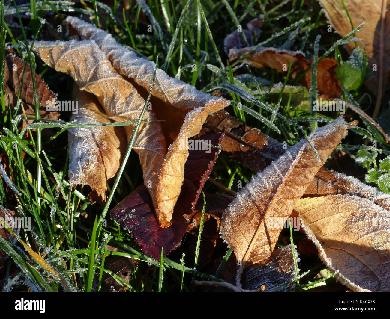 Brown Frosty Autumn Leaves Lying On The Ground Stock Photo