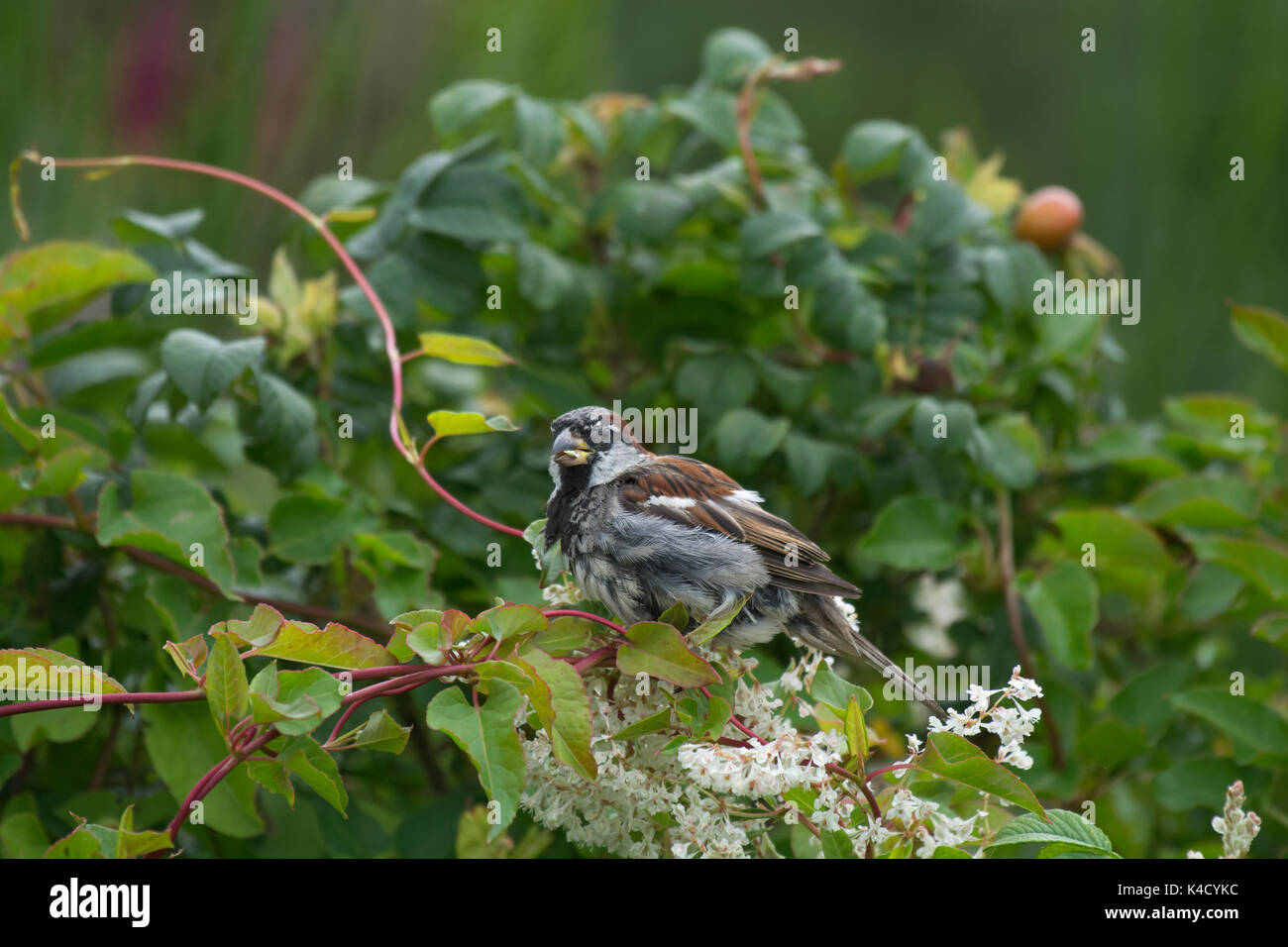 Male House sparrow, Passer domesticus, perched on Russian vine, Fallopia baldschuanica, growing in dog rose, Rosa canina, Lancashire, UK - Stock Image