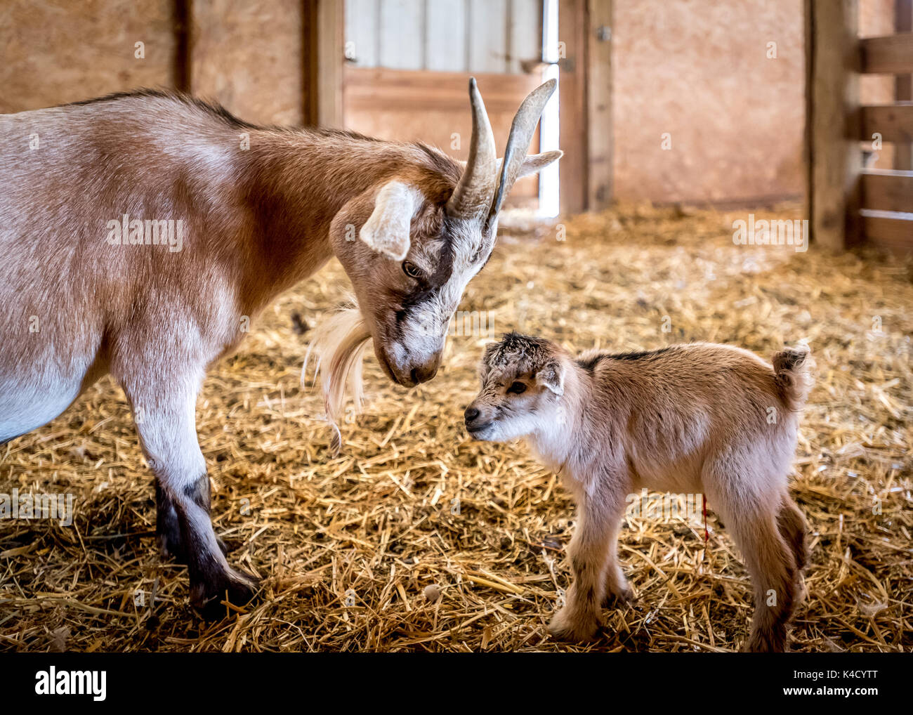 A loving look from mother nanny goat to newborn baby goat, umbilical cord still visible, taking first steps in barn in Oregon's Willamette Valley. - Stock Image