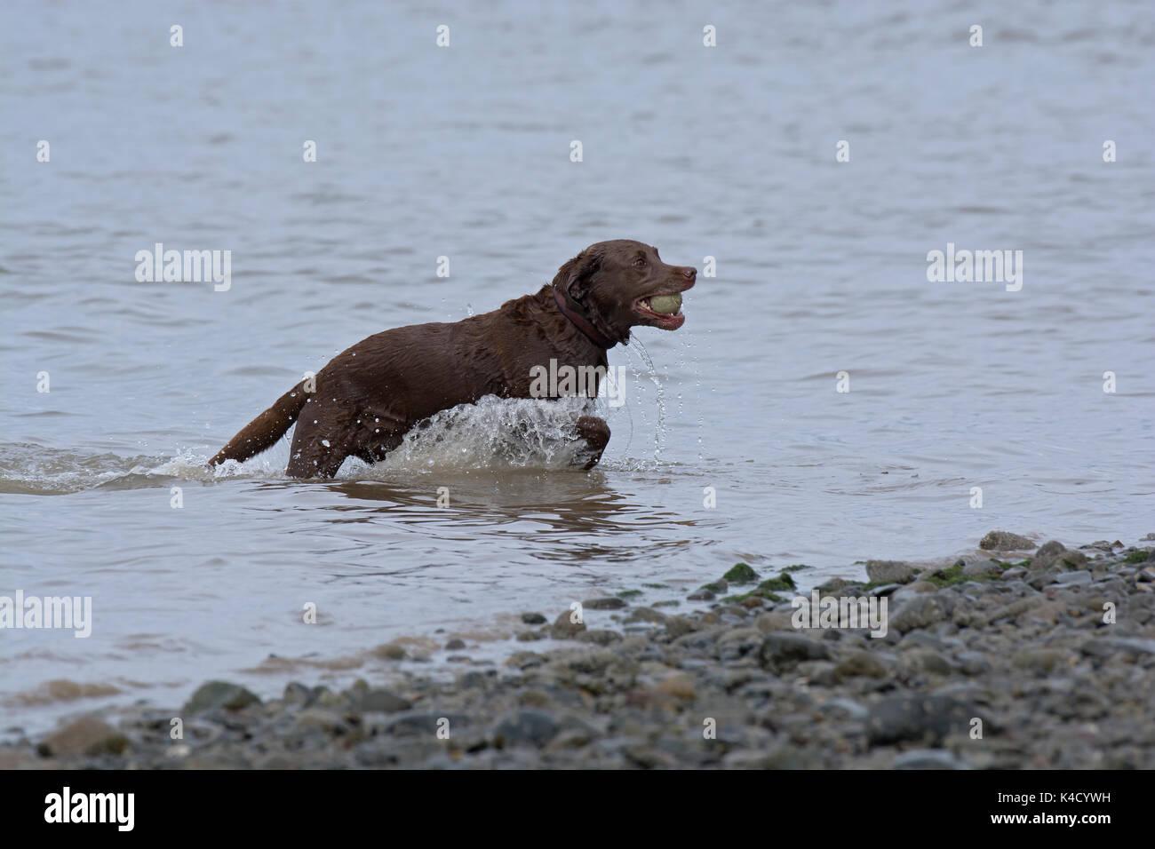 Labrador Retriever, collecting ball from river, Lancashire, UK - Stock Image