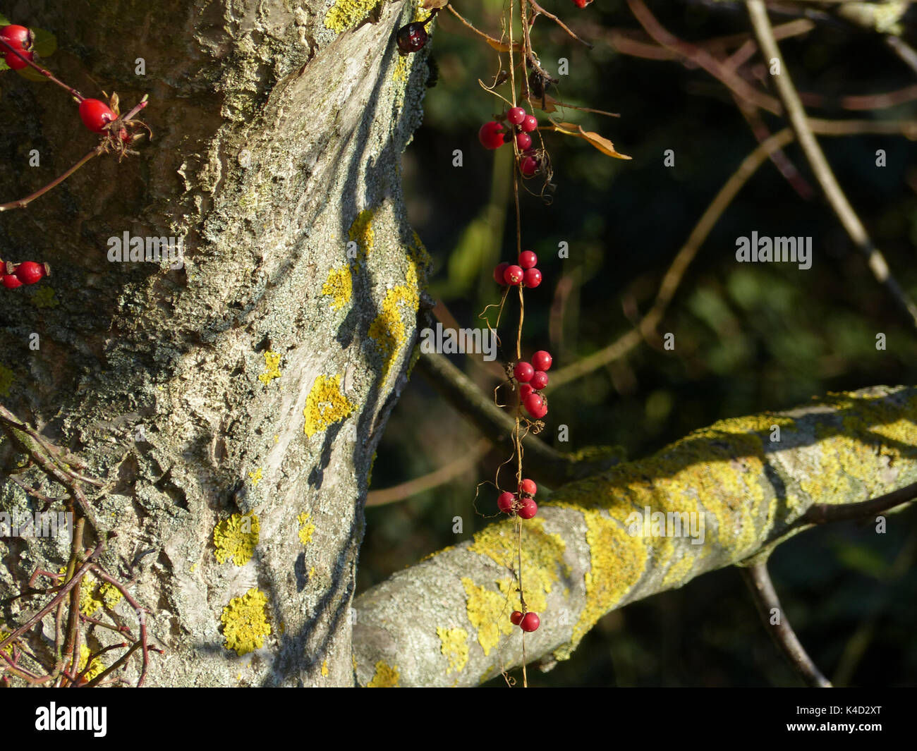 Red Berries Of Bindweed And Red Rose Hips Adorn A Tree - Stock Image