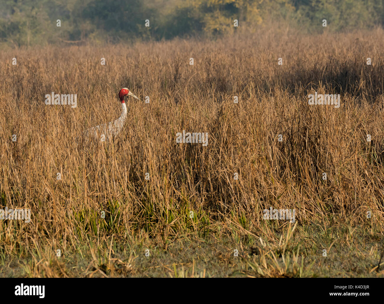 Sarus crane among the tall grasses of bharatpur - Stock Image