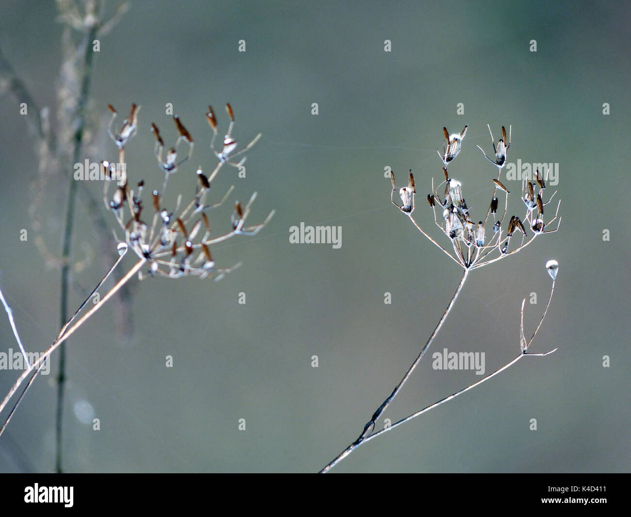 Faded Umbellifers With Water Drops, Reversed - Stock Image