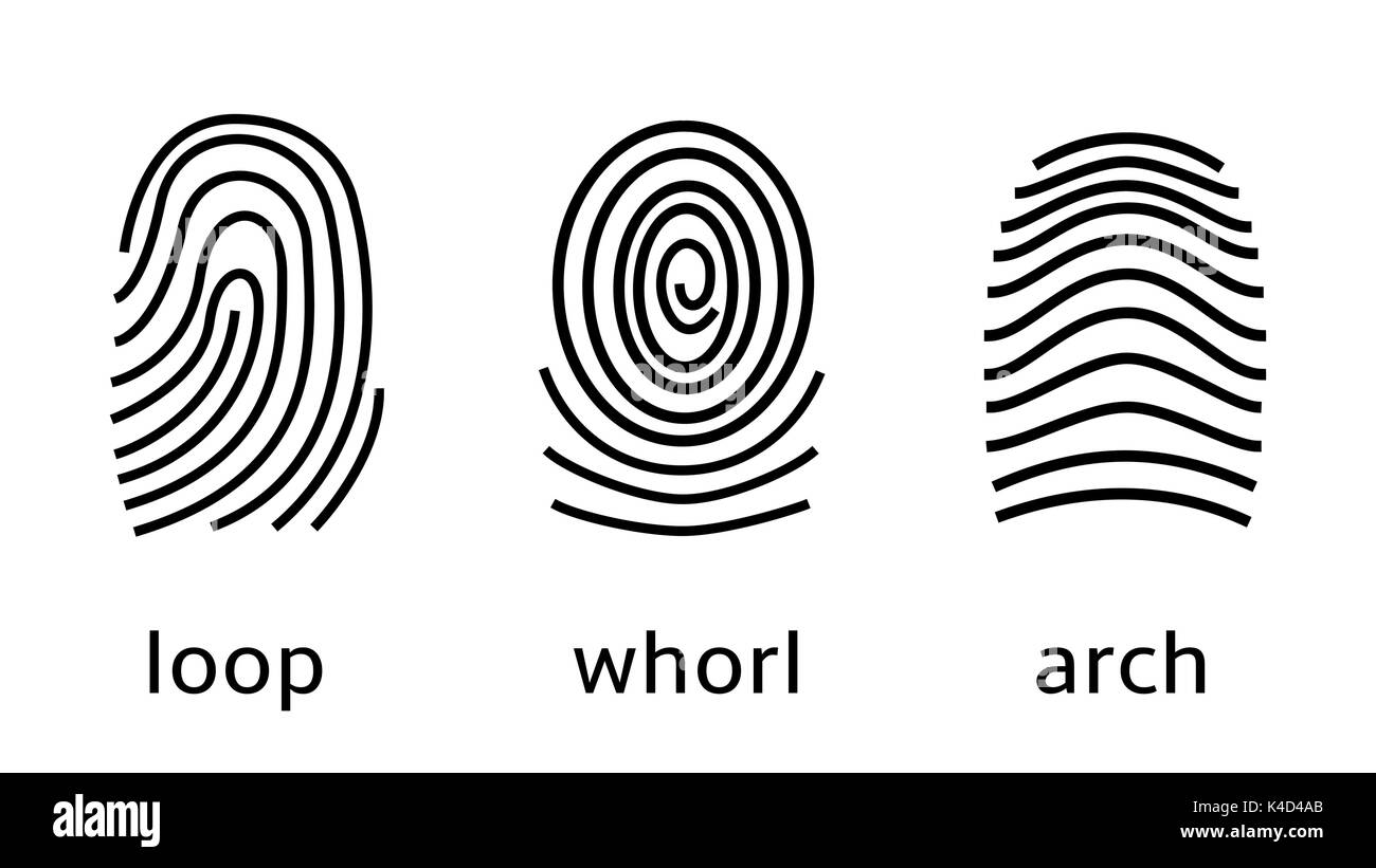 Three fingerprint types on white background. Loop, whorl, arch patterns - Stock Image