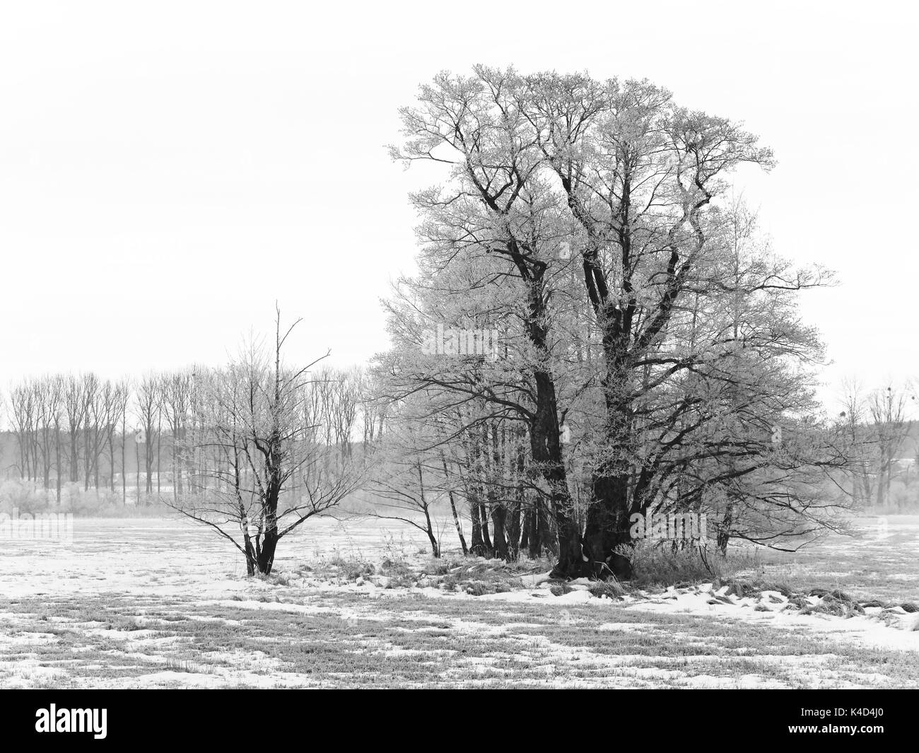 Winter Landscape With A Group Of Trees In Ampermoss, River Valley Fen Near Ammersee In Upper Bavaria - Stock Image