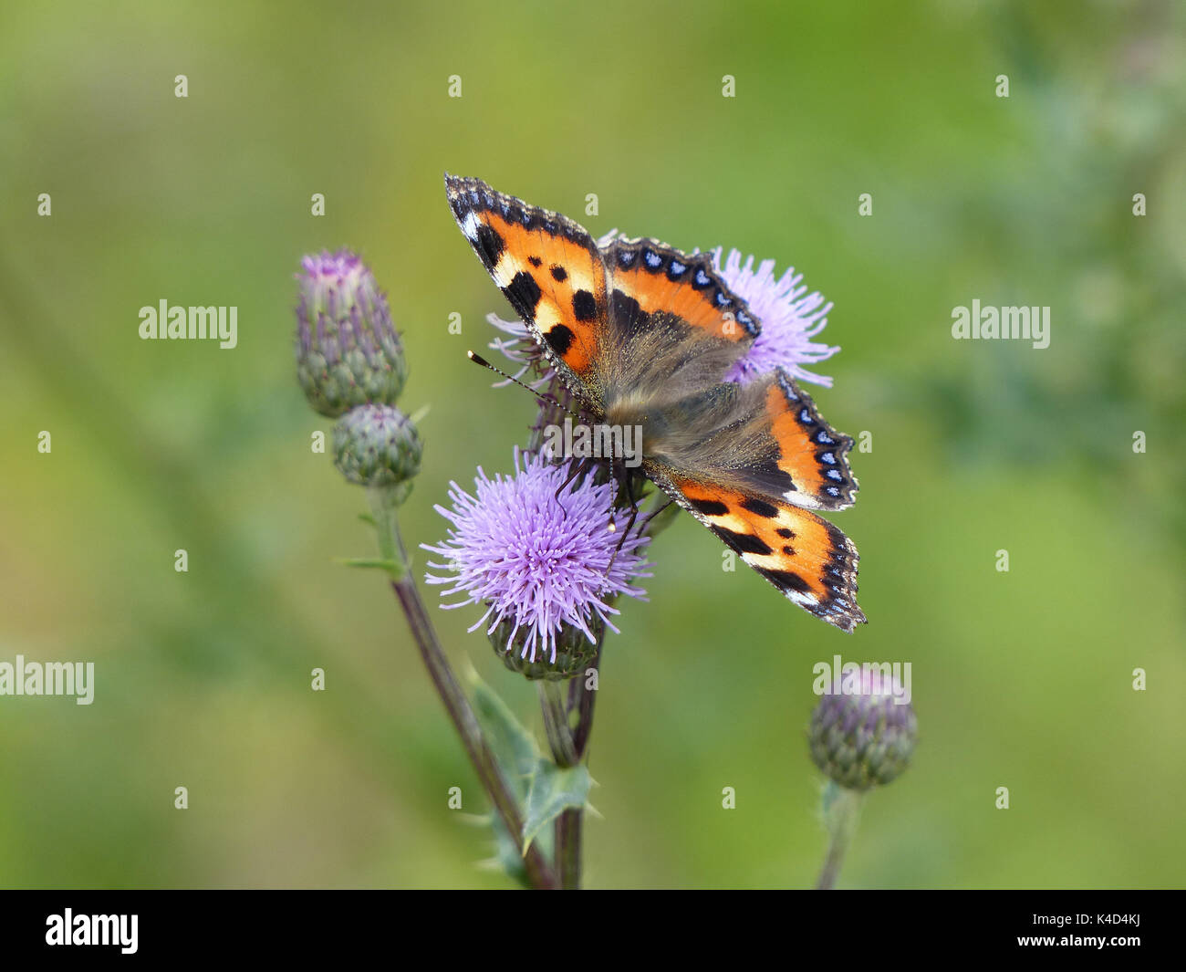 Small Tortoiseshell Aglais Urticae On Plume Thistle Flower Cirsium Arvense, Green Background - Stock Image