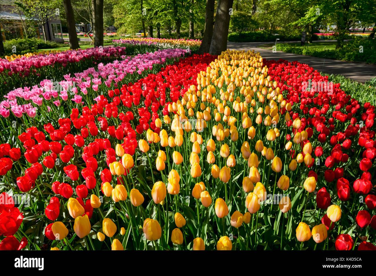 Blooming tulips flowerbed in Keukenhof flower garden, Netherland - Stock Image