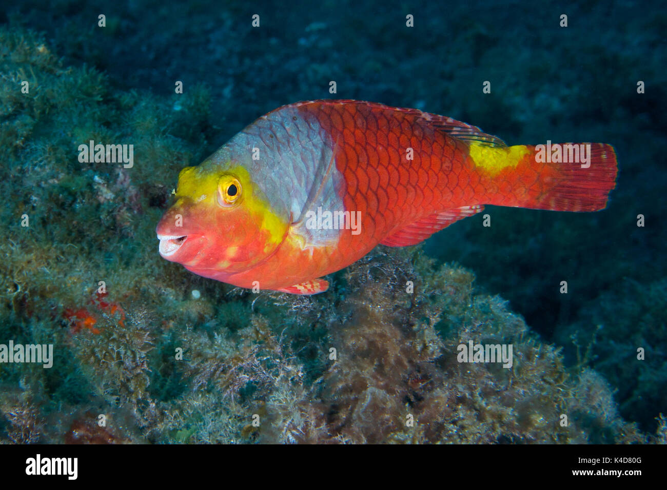 Mediterranean Parrotfish Stock Photos & Mediterranean Parrotfish ...