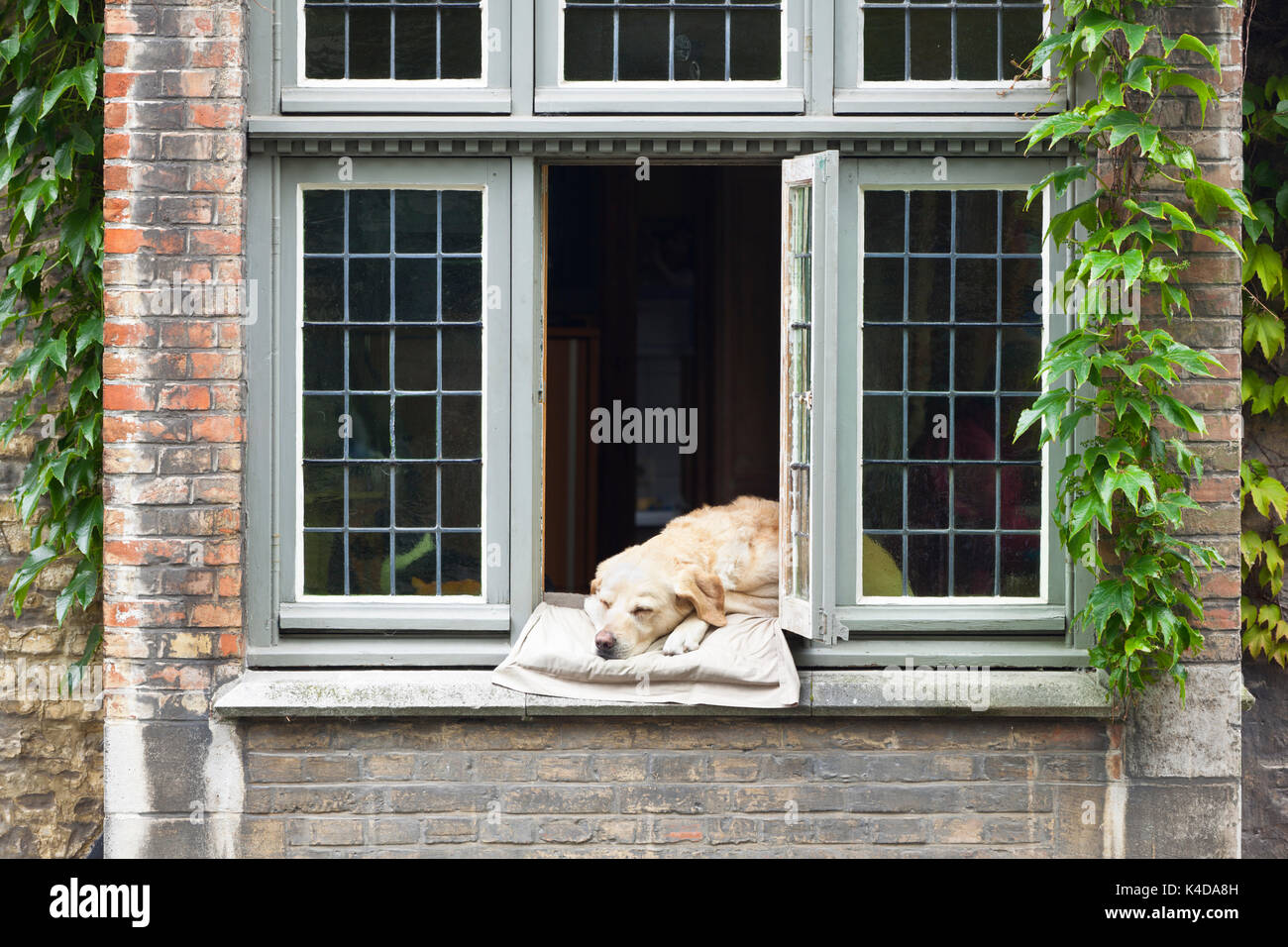 A dog relaxing on a pillow in a window at a canalside house in Bruges, Belgium. - Stock Image