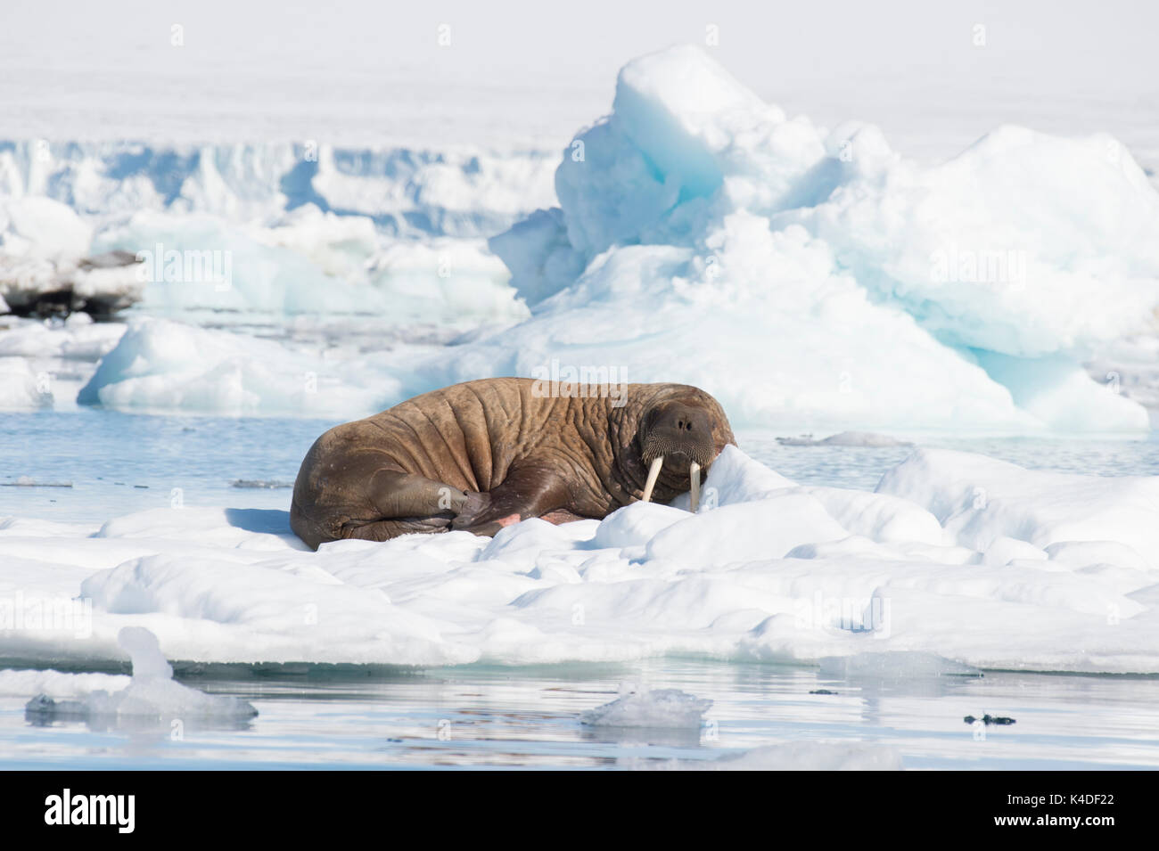 Walrus on ice flow - Stock Image
