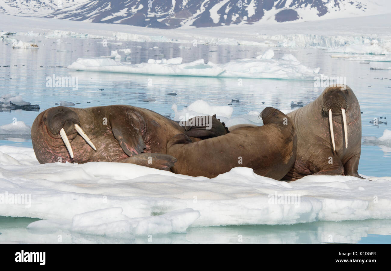 Walruses on ice flow in Franz Joseph Land Arctic Stock Photo