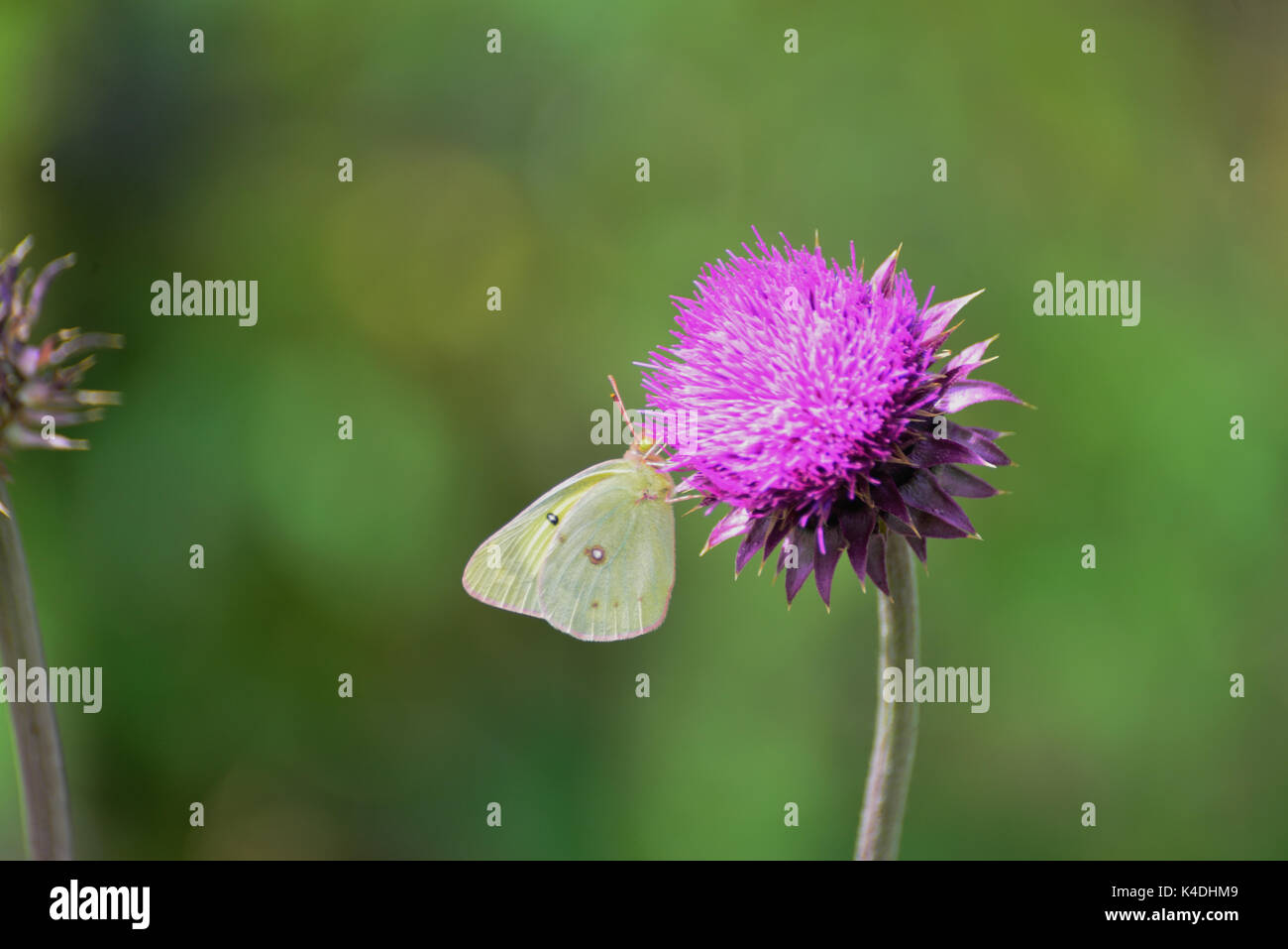 Clouded Sulphur Butterfly on Thistle - Stock Image