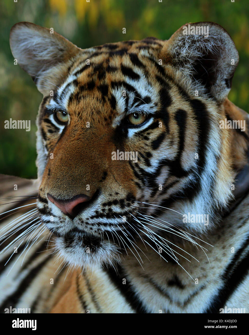 Hot day. Closeup portrait of a Big Indo-Chinese  tiger in the Buddhist Tiger Temple, Kanchanaburi, Thailand - Stock Image