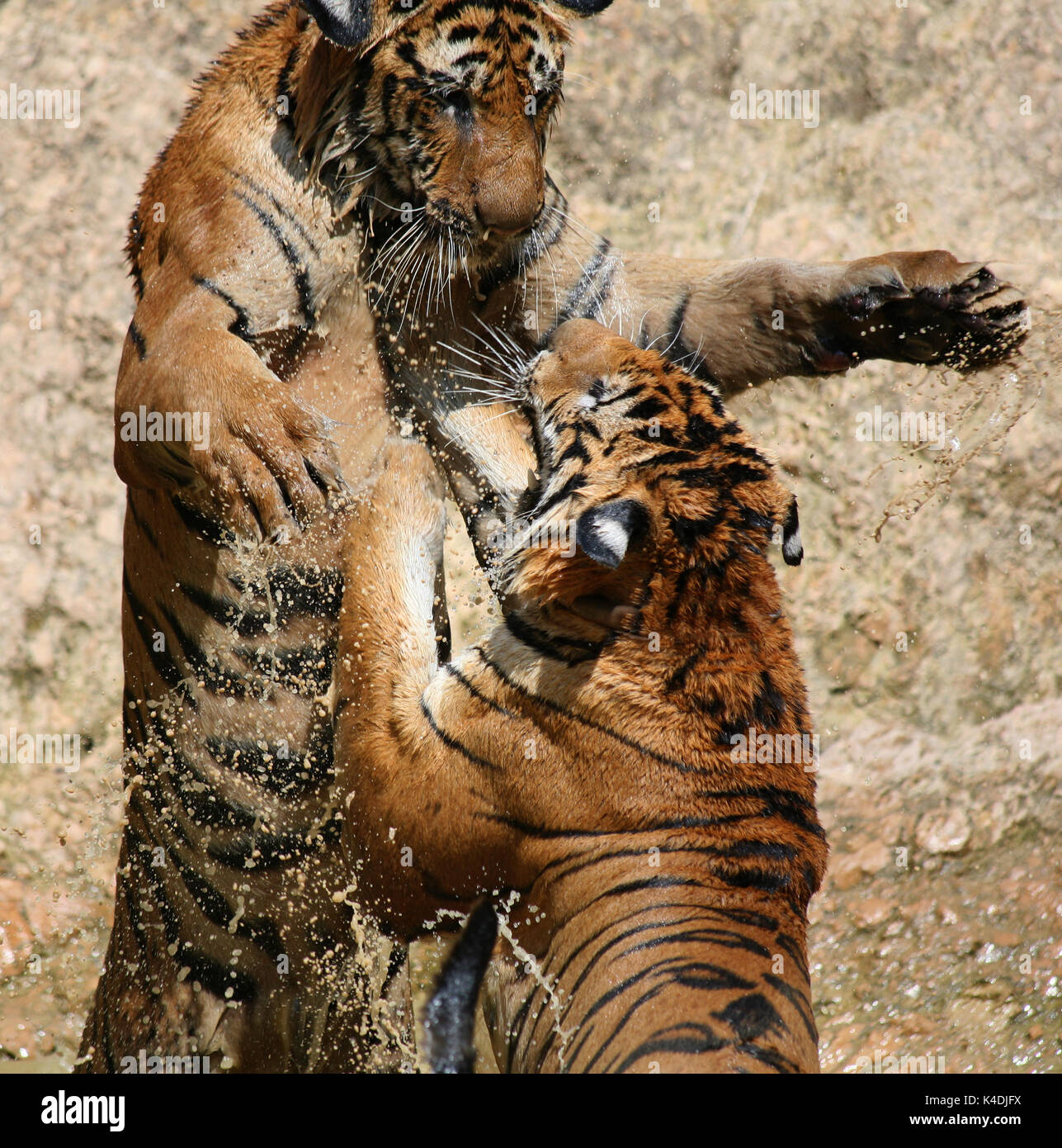 Hot day. Closeup portrait  of two Indo-Chinese Tigers, playing in the lake in the Buddhist Tiger Temple, Kanchanaburi, Thailand - Stock Image