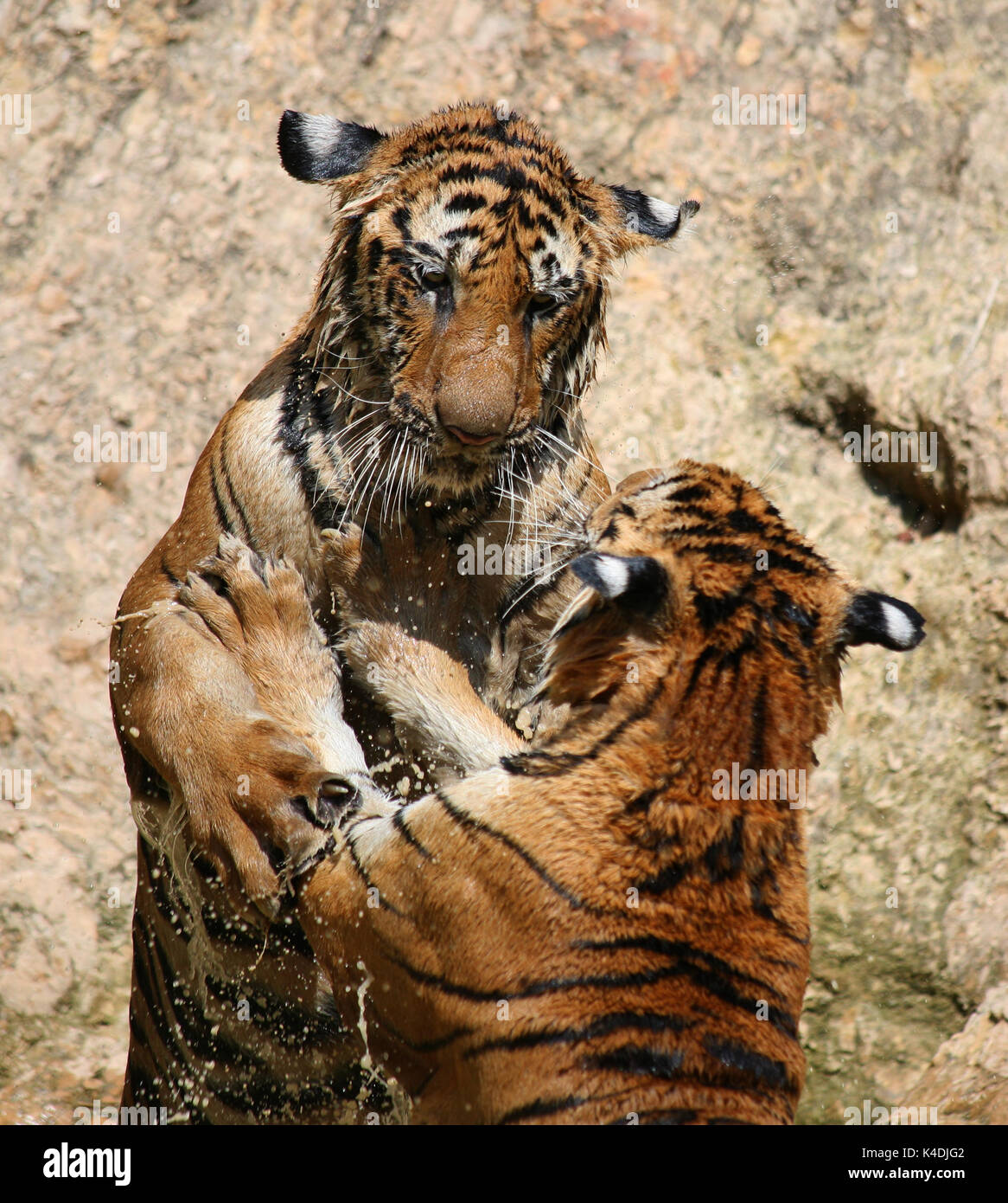 Hot day. Closeup portrait o f two Indo-Chinese Tigers, playing in the lake in the Buddhist Tiger Temple, Kanchanaburi, Thailand - Stock Image