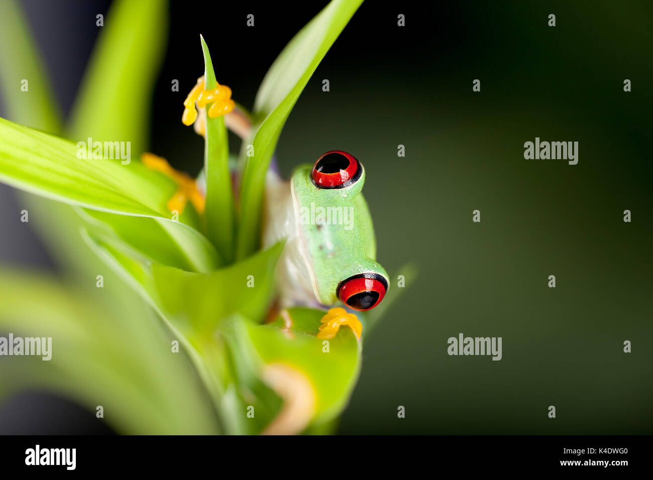 Red eyed tree frog on bamboo branch Stock Photo