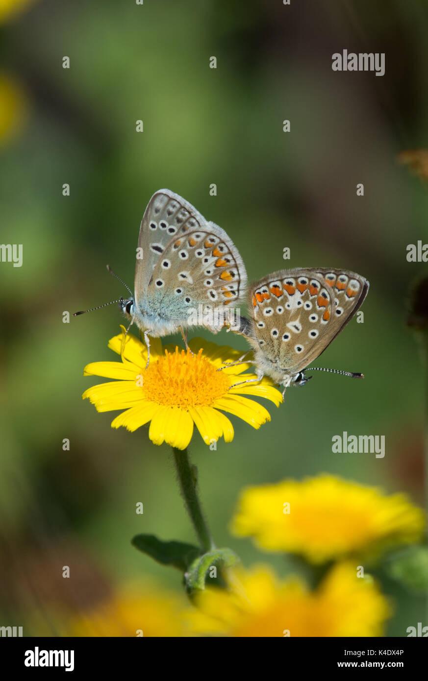 Brown argus (aricia agestis) butterflies mating, on yellow flower, Marais du logit, France - Stock Image