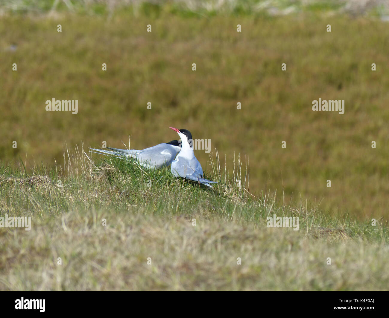 Arctic Terns During Advertising Prior To Pairing - Stock Image