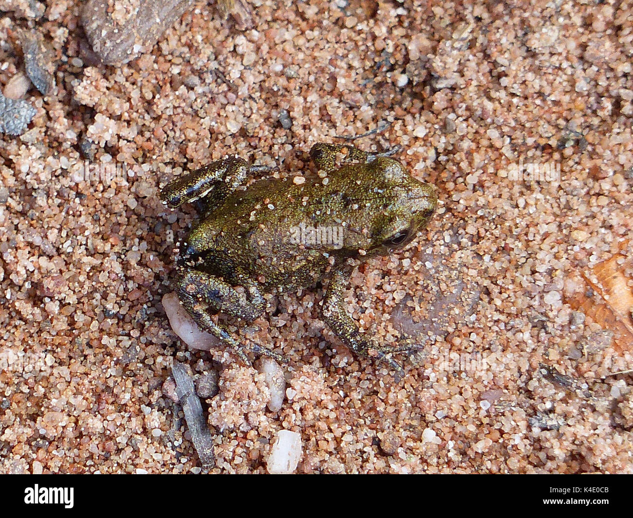 Little Respectively Young Frog With A Size Of About Two Cm - Stock Image
