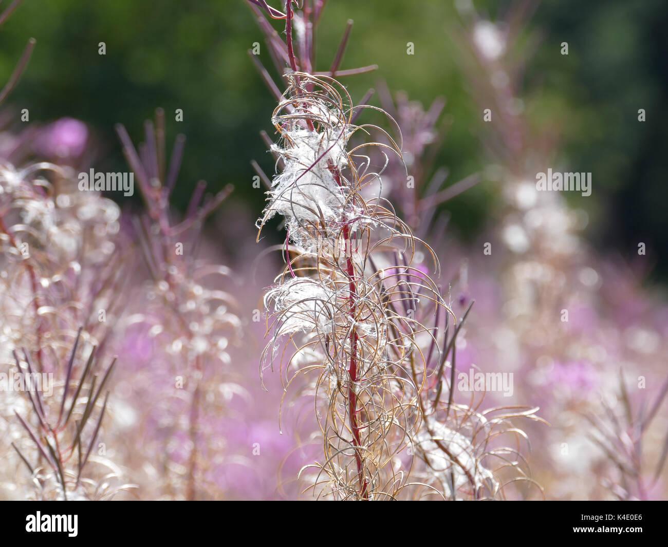 Fading Rosebay Willow Herb Epilobium Angustifolium, Fading, In Rhoen - Stock Image