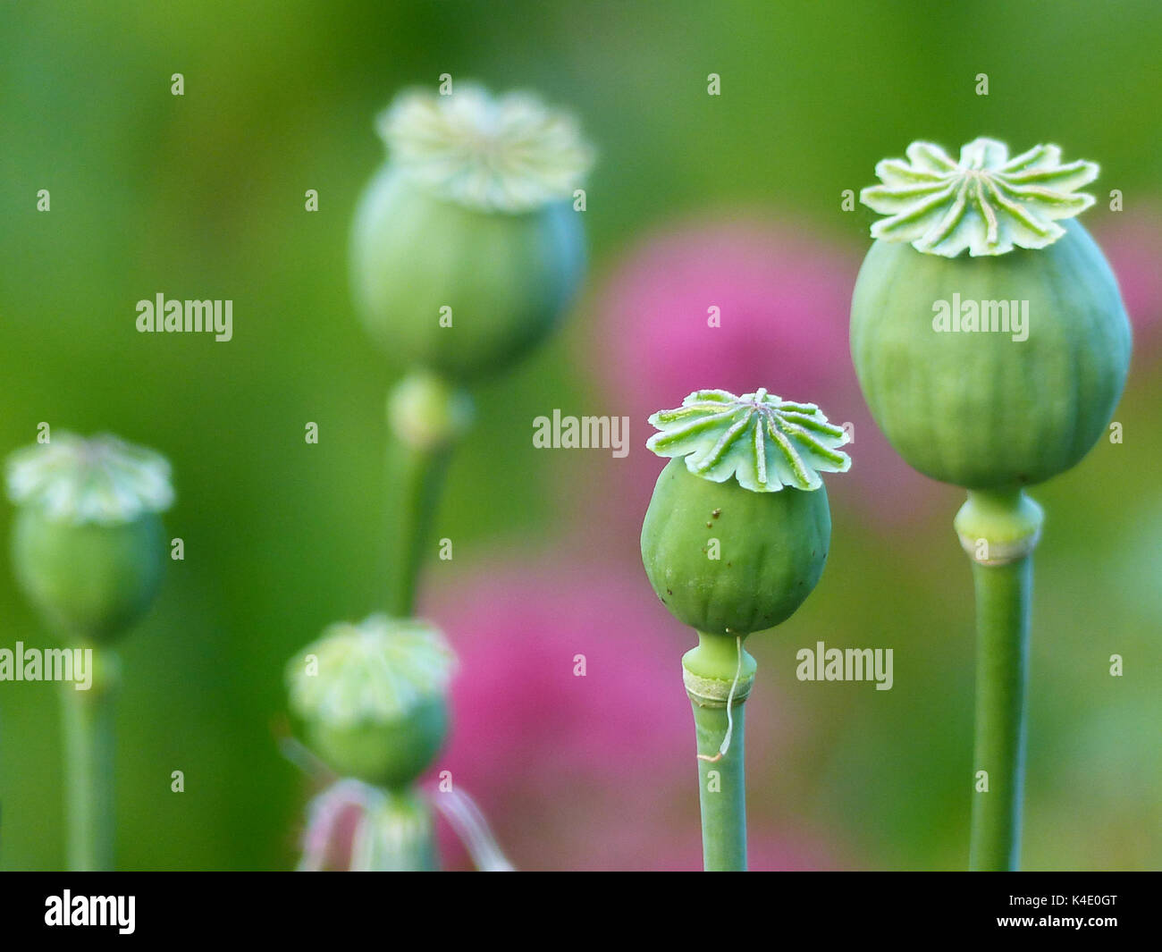 Poppy Capsules Of Withered Poppies, Opium Poppy, Ornamental Version - Stock Image