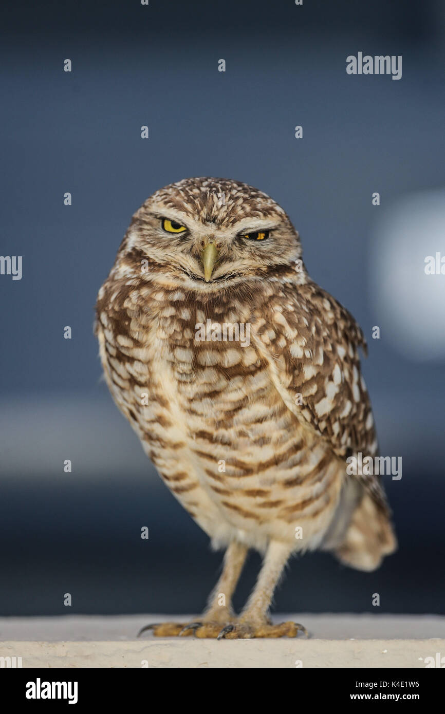an owl who lives in the stadium Hereo de Nacozari appears on the court during the parties of the maroons of the Mexican soccer league. Hermosillo - Stock Image