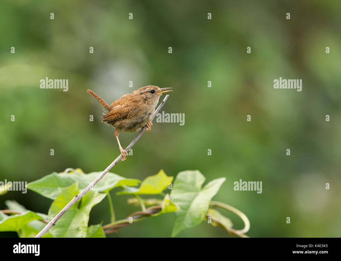 Wren, Troglodytes troglodytes, single adult singing on twig, Worcestershire, UK - Stock Image