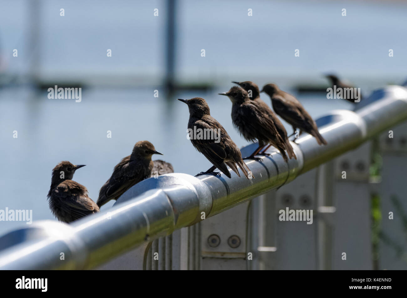 Young starlings perch on a fence next to river Thames in London, England, United Kingdom, UK Stock Photo
