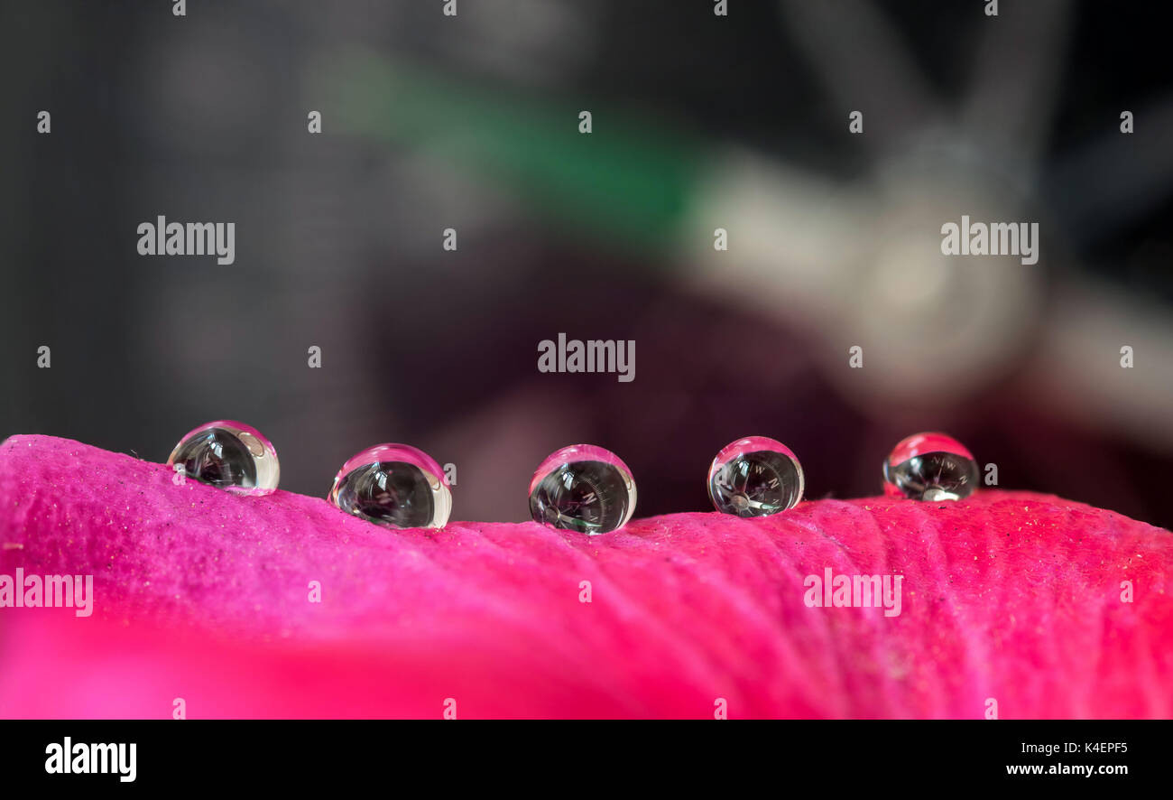 Navigation compass, reflecting and refracting on small rain water droplets on a pink and purple rose flower petal - Stock Image