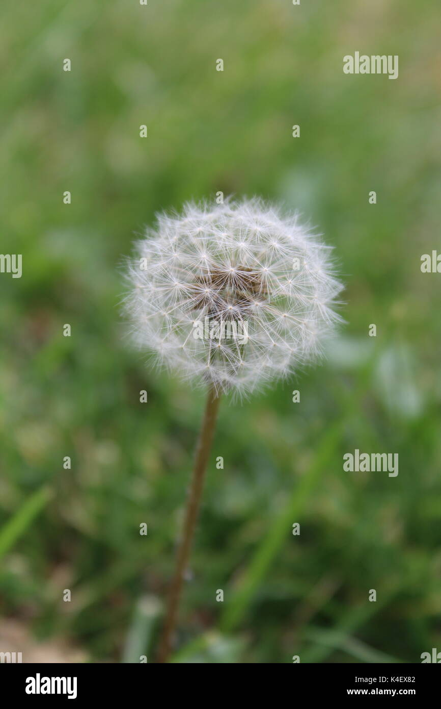 Make a wish, dandelion head gone to seed - Stock Image