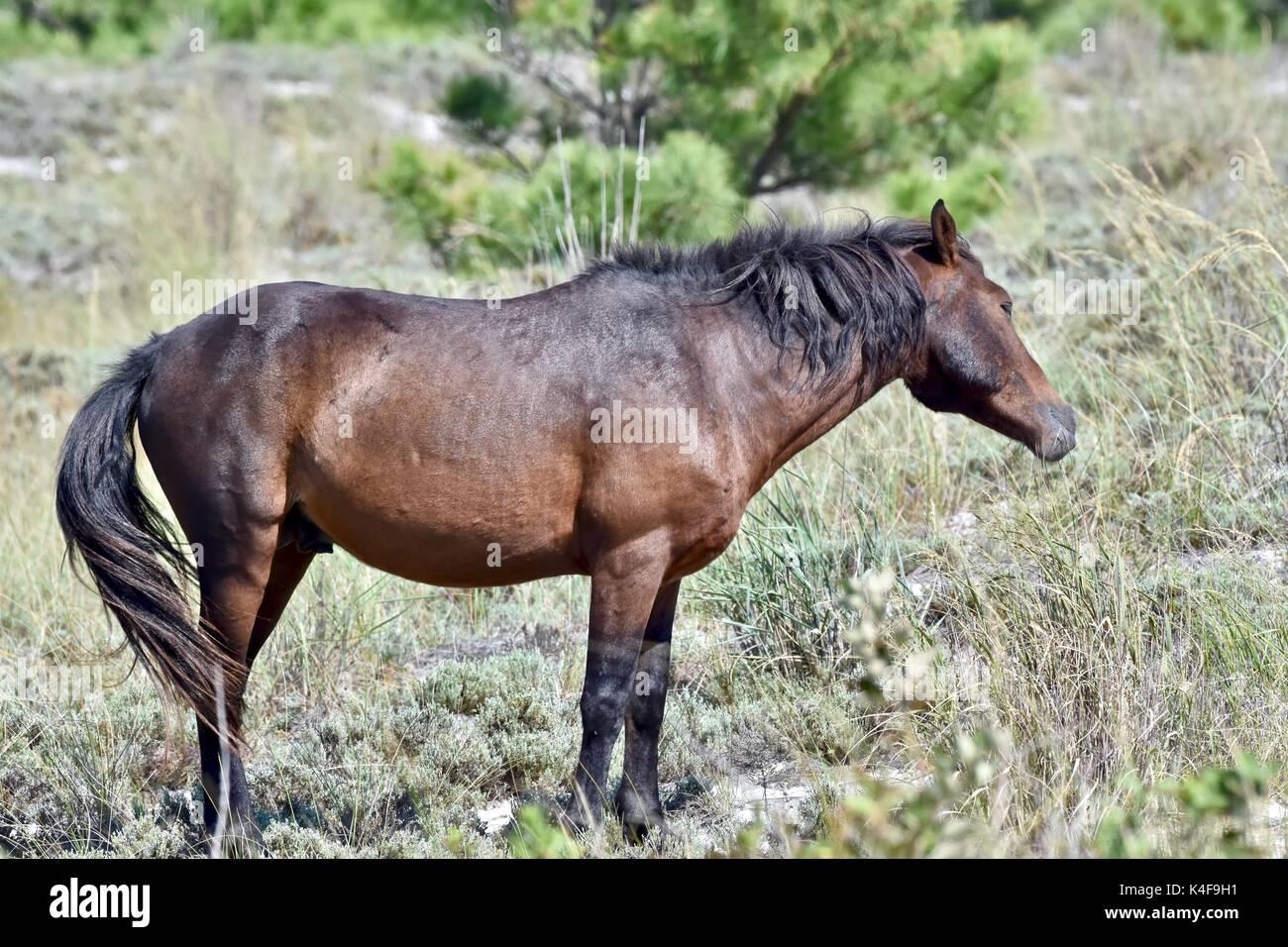 Wild horse (Equus ferus) at the Assateague island National seashore - Stock Image