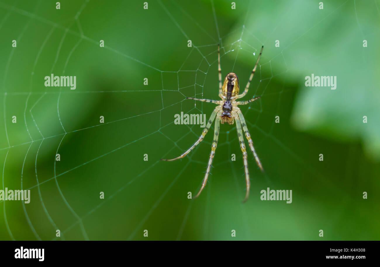 Metellina Segmentata or Metellina Mengei spider on a web in the UK. Spider web. Spiders web. Spider in a web. Spiderweb UK. - Stock Image