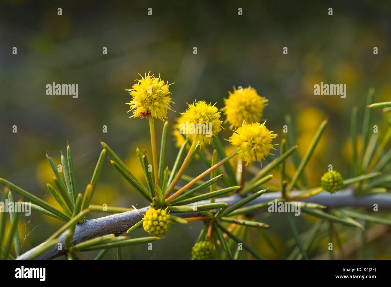 Acacia tetragonophylla, commonly called Dead Finish or Needle Wattle. - Stock Image