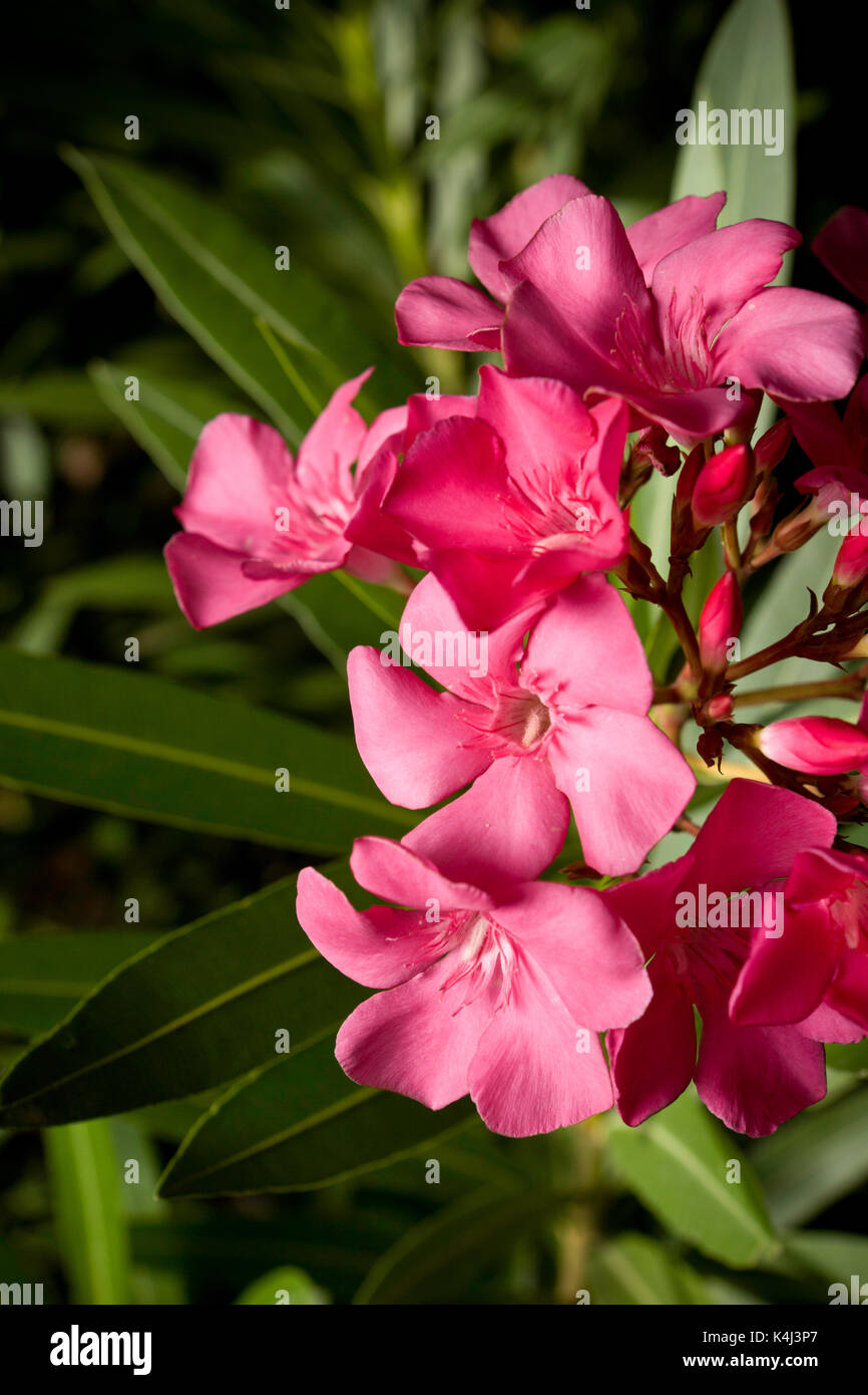 Flower of common garden plant, Nerium oleander. Cultivated widely, is one of the most toxic of all cultivated garden plants. All parts of the lovely f - Stock Image