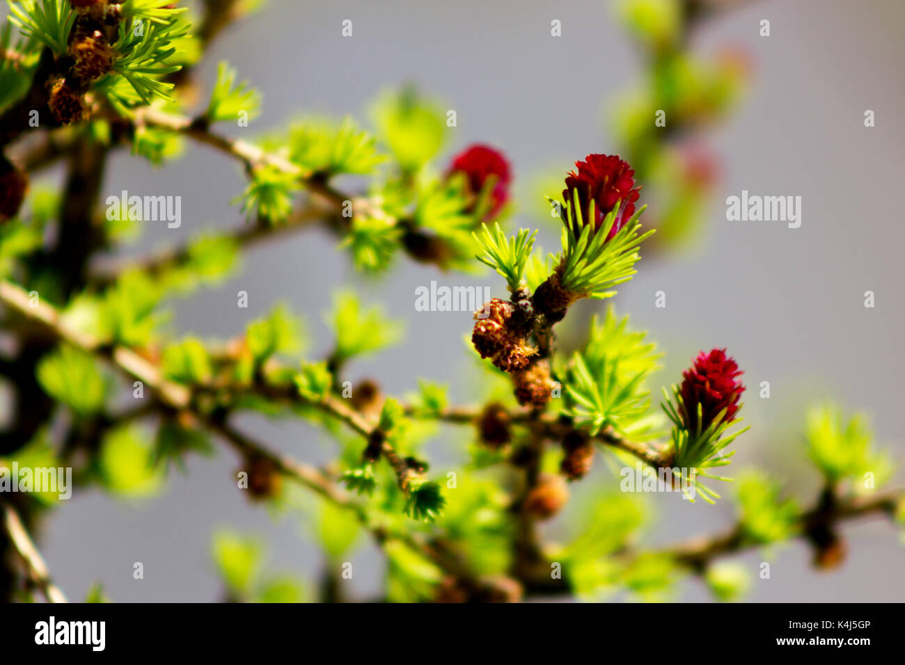 Young green needles and red cones of larch at blurred gray background in garden at sunny day - Stock Image