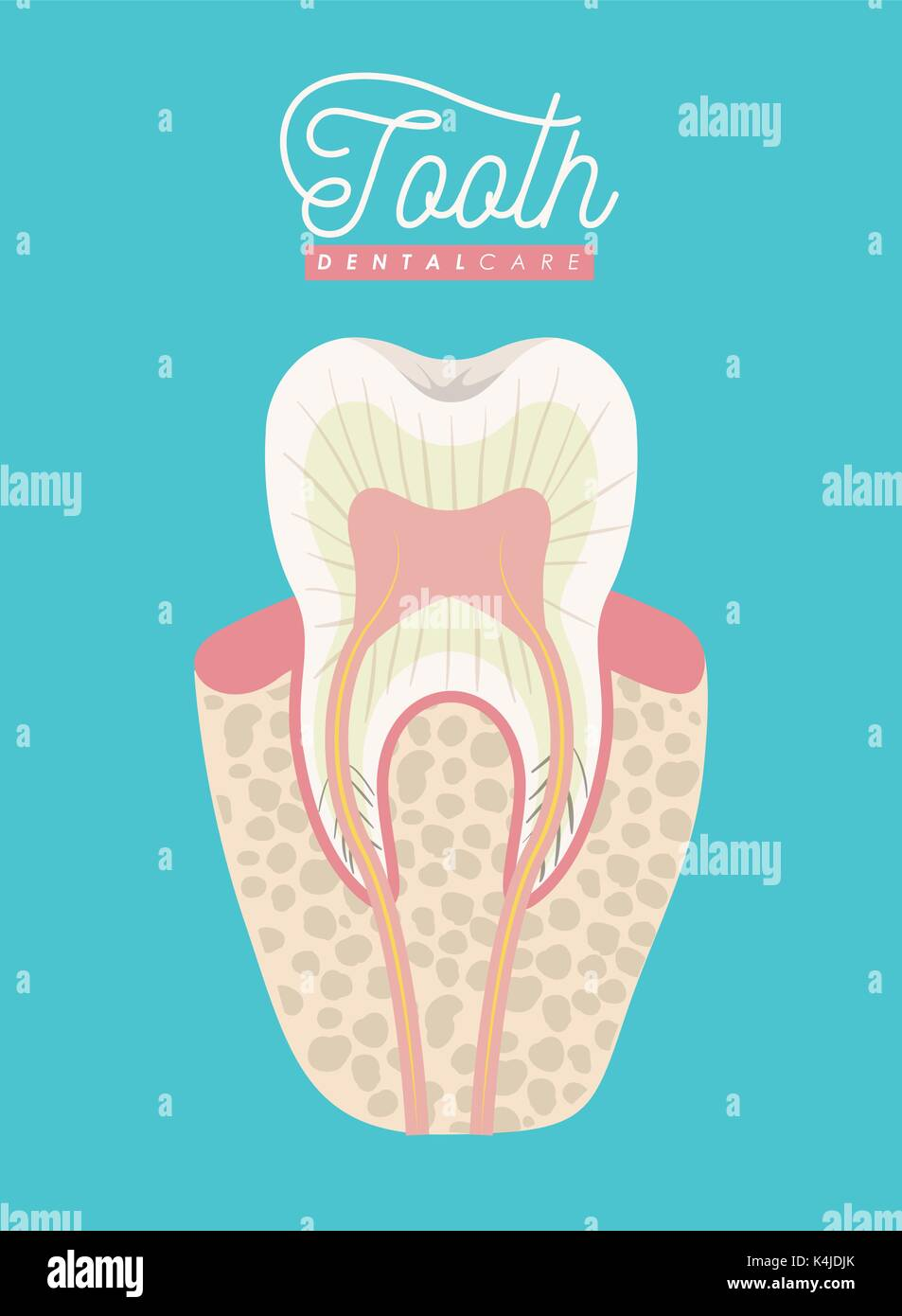 tooth anatomy dental care on color poster Stock Vector Art ...