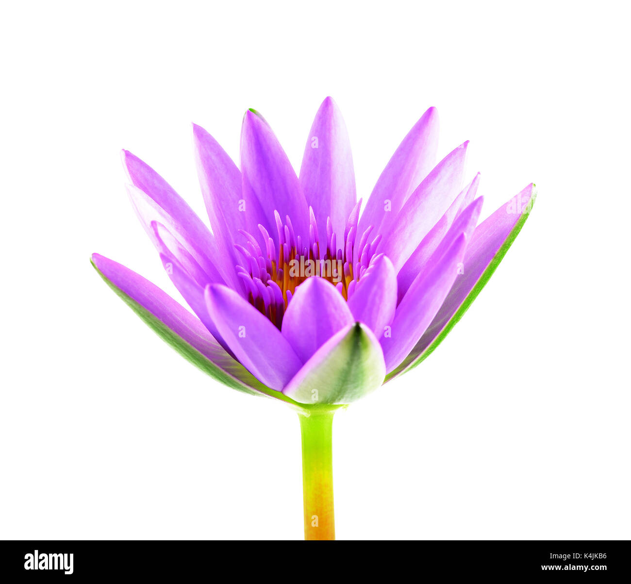 Purple lotus flower isolated on white background beautiful lotus purple lotus flower isolated on white background beautiful lotus single lotus flower isolated on white water lily izmirmasajfo