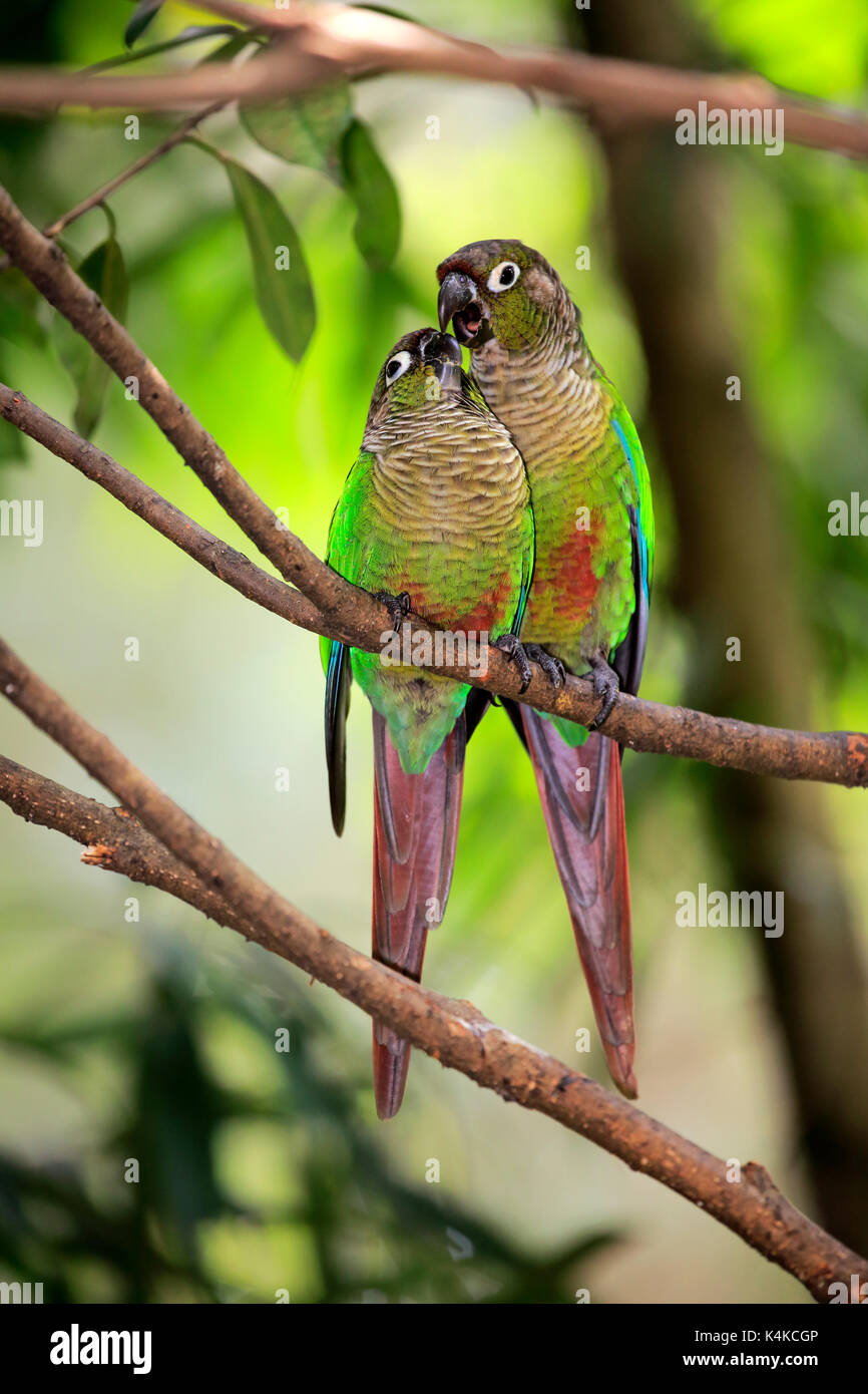 Two Green-cheeked parakeets (Pyrrhura molinae), couple, sitting on branch and billing, social behavior, captive - Stock Image