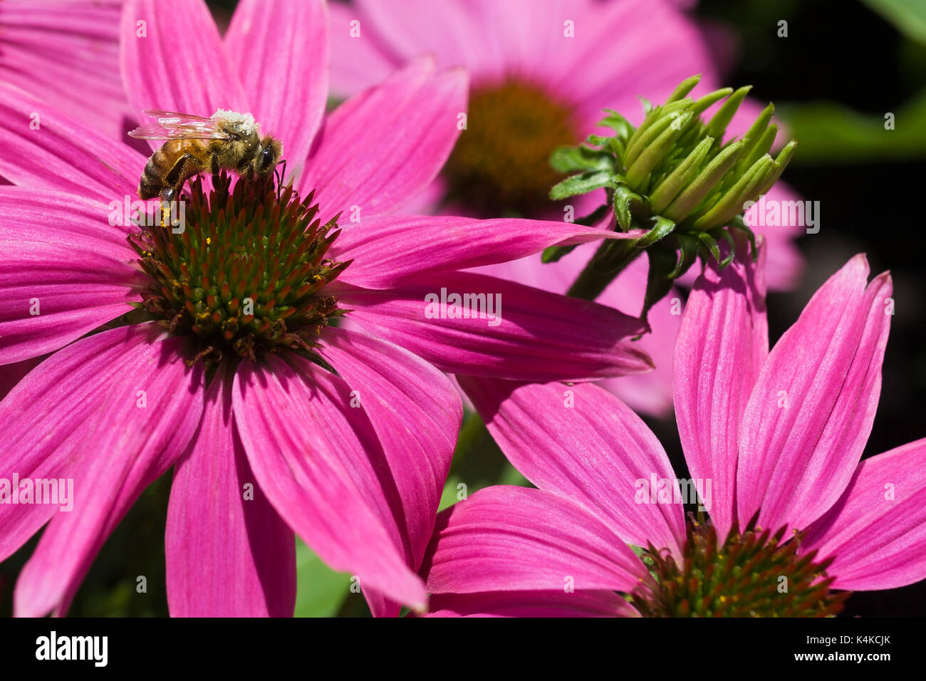 Pollen covered honey bee (Apis mellifera) foraging for nectar on pink Echinacea, Coneflower in summer, Montreal, Quebec, Canada - Stock Image
