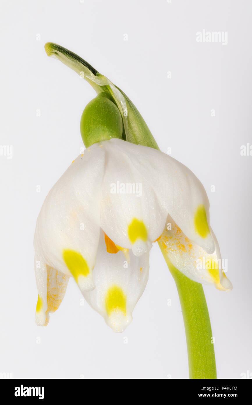 Spring Snowflake (Leucojum vernum), flower, free, Focus Stacking - Stock Image