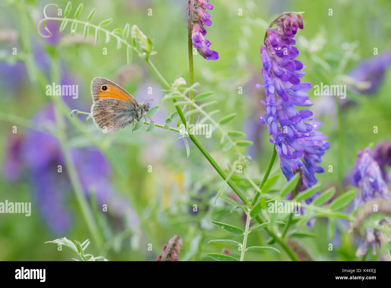 Small heath (Coenonympha pamphilus) on clover (Trifolium), Hesse, Germany - Stock Image