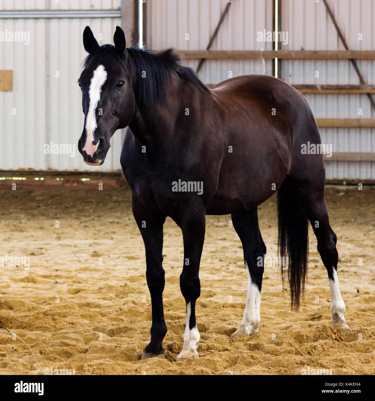 Brown horse learning to work without bridle on manege - Stock Image