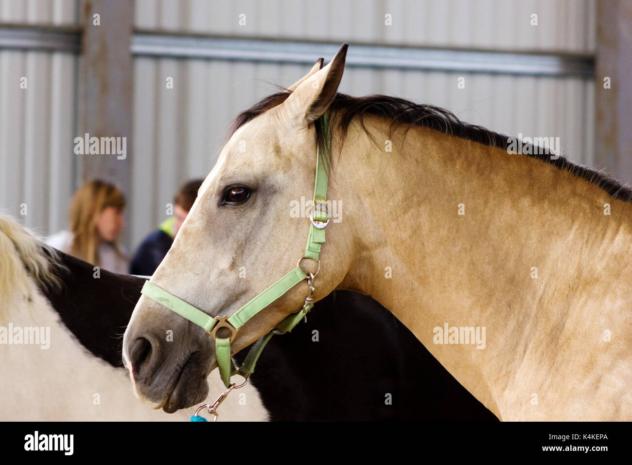 Dun horse learning to work without bridle on manege - Stock Image